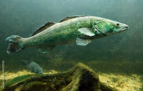 Underwater photo of a Zander or Pike-perch (Sander lucioperca).