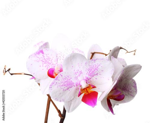 Fototapeten,orchidee,natur,isoliert,rosa