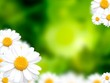 Green grass background with daisy flowers