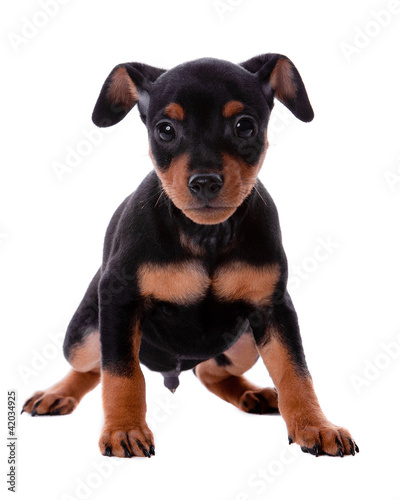 Minature Pinscher