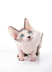 amazing Canadian Sphynx cat with blue eyes on white background