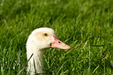 Duck head poking out of grass poster