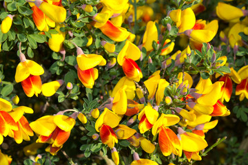 Red and yellow blooming broom