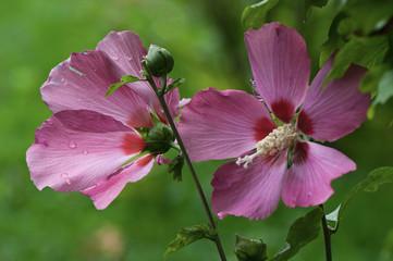 fiori1477