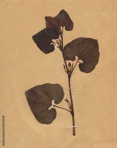 scan of vintage dried folliage flower on paper dated 1896