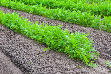 Closeup of rows with carrot plants