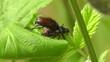 Gartenlaubkäfer - Phyllopertha horticola - Paarung