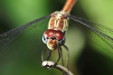 dragonfly, close up, daintree rainforest, queensland, australia