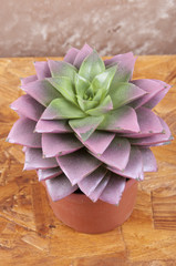 Echeveria with peaks red