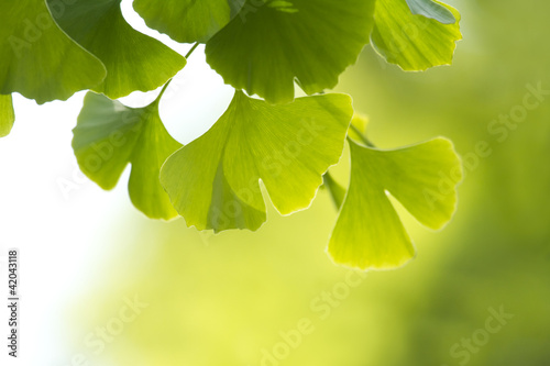 canvas print picture ginkgo biloba