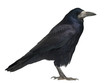 Rook, Corvus frugilegus, 3 years old
