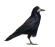Rook, Corvus frugilegus, 3 years old, standing