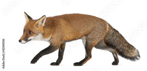 Red fox, Vulpes vulpes, 4 years old