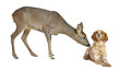 European Roe Deer, Capreolus capreolus, standing with dog