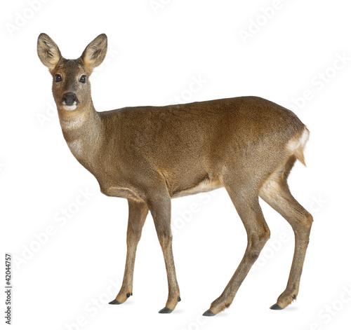Foto op Aluminium Hert European Roe Deer, Capreolus capreolus, 3 years old