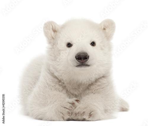Fototapeten Eisbar Polar bear cub, Ursus maritimus, 3 months old, lying