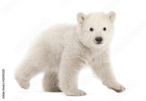 Papiers peints Ours Blanc Polar bear cub, Ursus maritimus, 3 months old