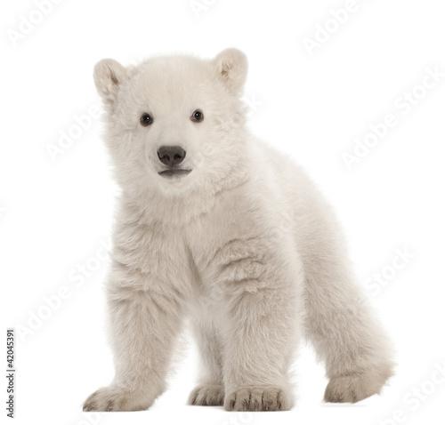 Foto op Canvas Ijsbeer Polar bear cub, Ursus maritimus, 3 months old