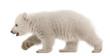 Polar bear cub, Ursus maritimus, 3 months old, walking