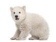 Polar bear cub, Ursus maritimus, 3 months old, standing