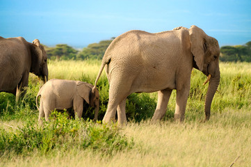 A group of savanna elephants with their babies is stay on the sa
