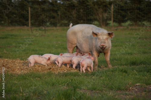 Outdoor pigs