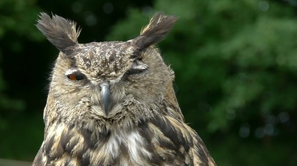 Eagle Owl Close Up (bubo bubo)