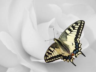 Rosenblüte mit Schwalbenschwanz