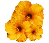 Ibisco Arancione Sfondo Bianco-Orange Hibiscus isolated on White
