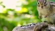 ひまわりの種を食べるエゾシマリス