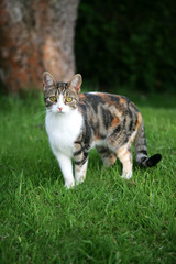 Domestic tabby cat standing in garden