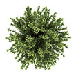 top view of red-barked dogwood bush isolated on white background