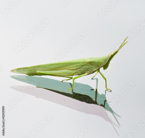 grasshopper on a mirror