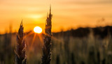 Fototapety Wheat Stalk silhouette