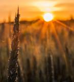 Fototapety Wheat Stalk silhouette