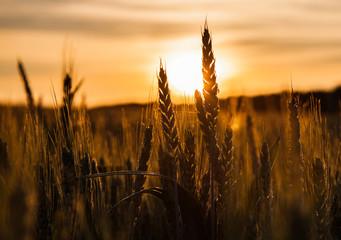 Wheat Stalk Silhouette