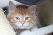 Gattino rosso  nella sua cuccia