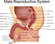 Male Reproductive System cross section view