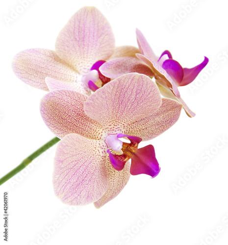 Fototapeten,orchidee,isoliert,blume,rosa