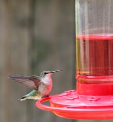 Perched Ruby-throated Hummingbird, Archilochus colubris