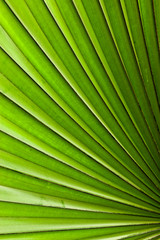 Palme (Arecaceae oder Palmae)