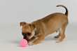 Chihuahua puppy playing with ball