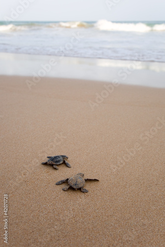 Newly hatched baby turtles in a hurry in the watery element