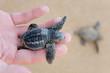 Loggerhead Turtle baby(Caretta carretta) - 42072353