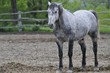 Lipizzaner stallion selected for breeding