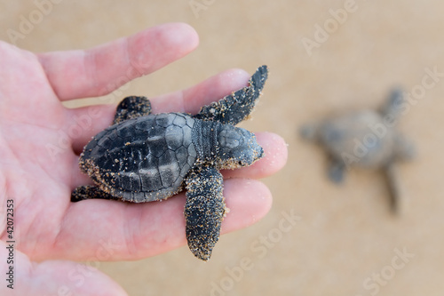 Leinwandbild Motiv Loggerhead Turtle baby(Caretta carretta)