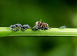 ant milking aphids