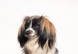 butterfly papillon dog Close-up portrait on a white background