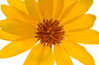 Close-up Of A Bright Yellow Daisy Flower