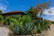 hacienda among several types of cacti